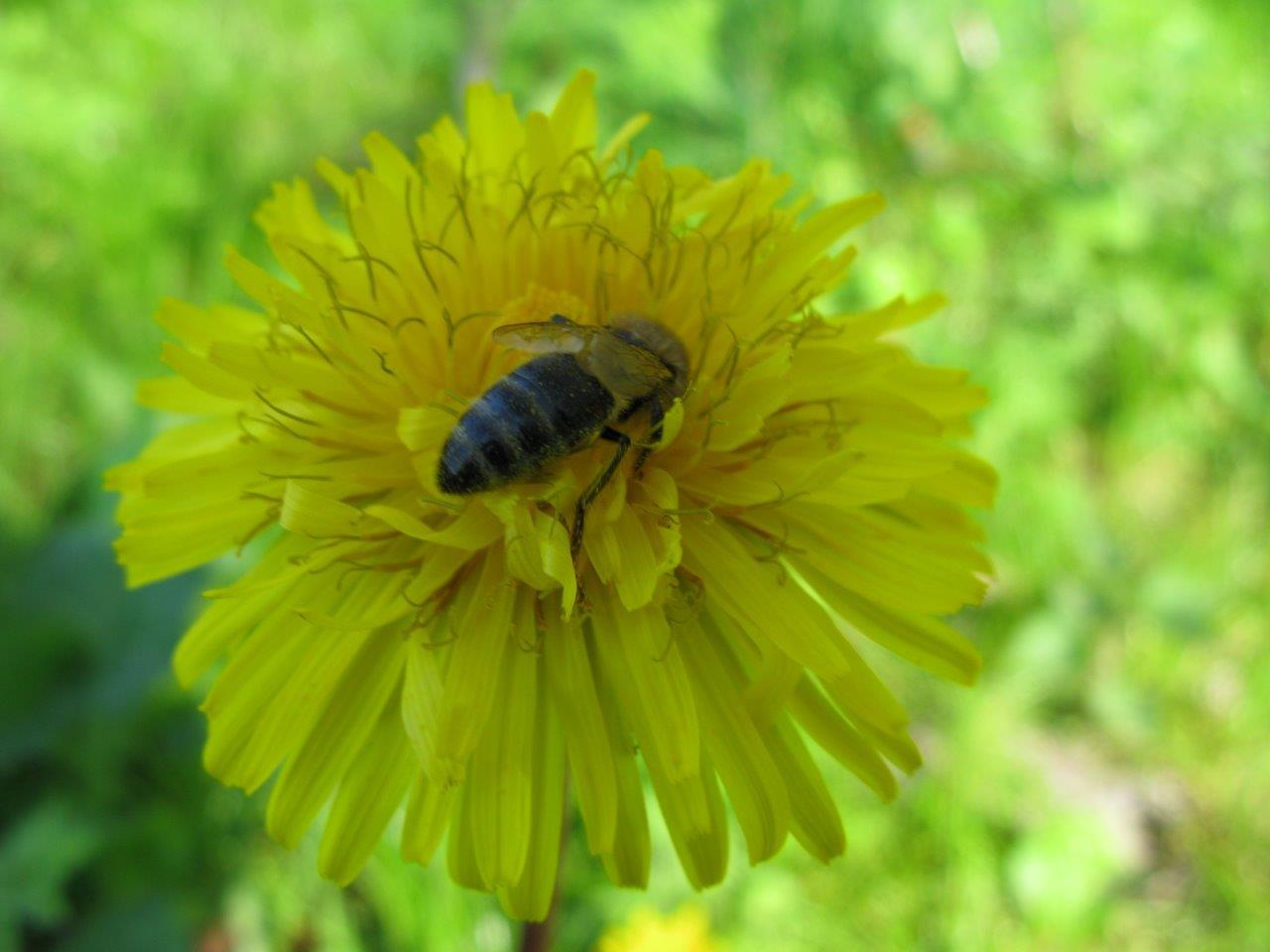 Taraxacum hamatum Pissenlit Grunh COPIE